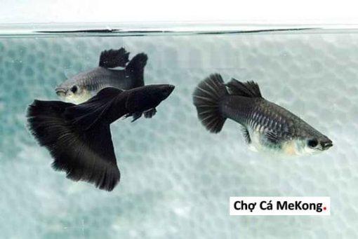 Cá bảy màu Full Black