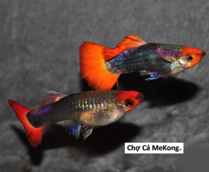 Cá bảy màu Koi Đen