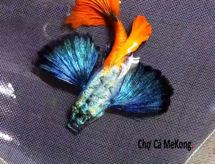 Cá bảy màu Dumbo Red Tail