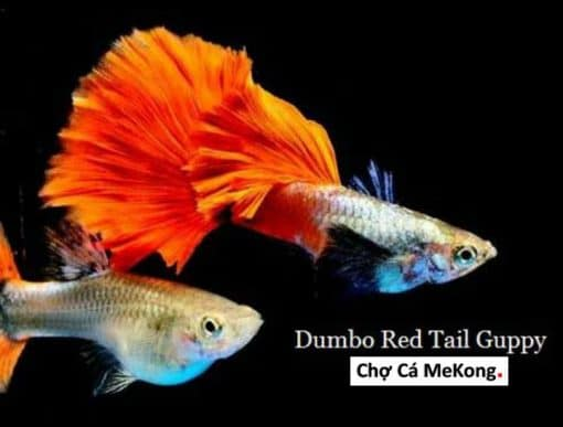 Dumbo Red Tail Guppy