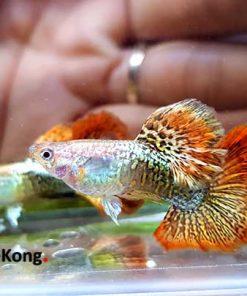 cá 7 màu rồng đỏ