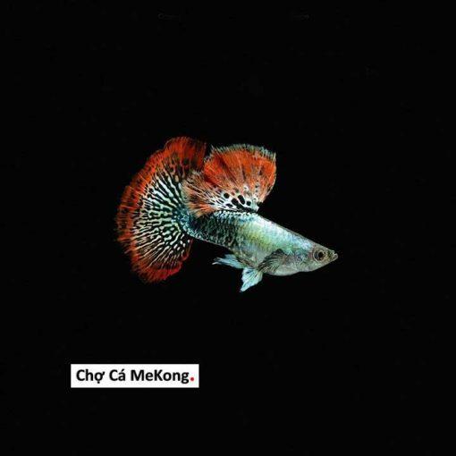 cá bảy màu rồng đỏ