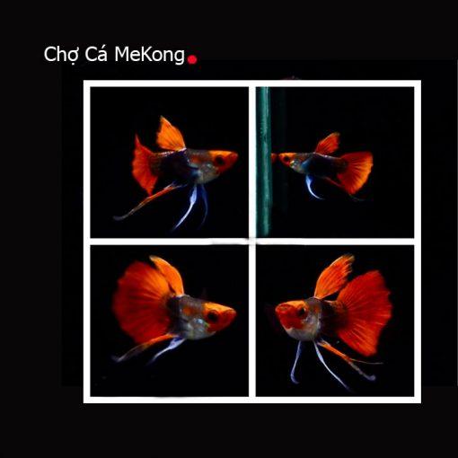 Cá bảy màu Koi Short Ribbon