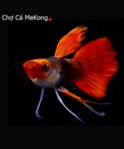 Cá bảy màu Koi Short Ribon