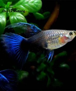 Cá 7 màu Hb Blue mái