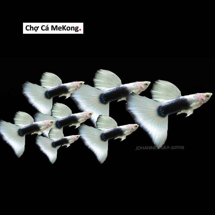 cá 7 màu hb white