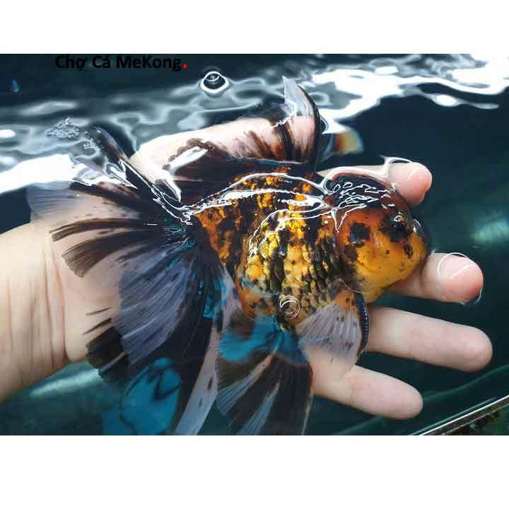 Cá vàng Oranda đẹp