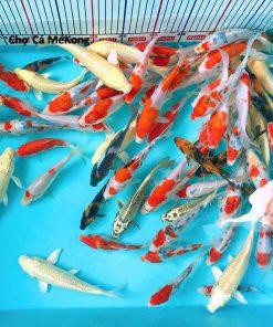 giá cá koi mini