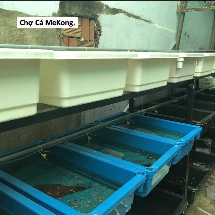 khay nhựa nuôi cá guppy
