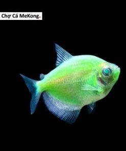 Cá Cánh Bườm