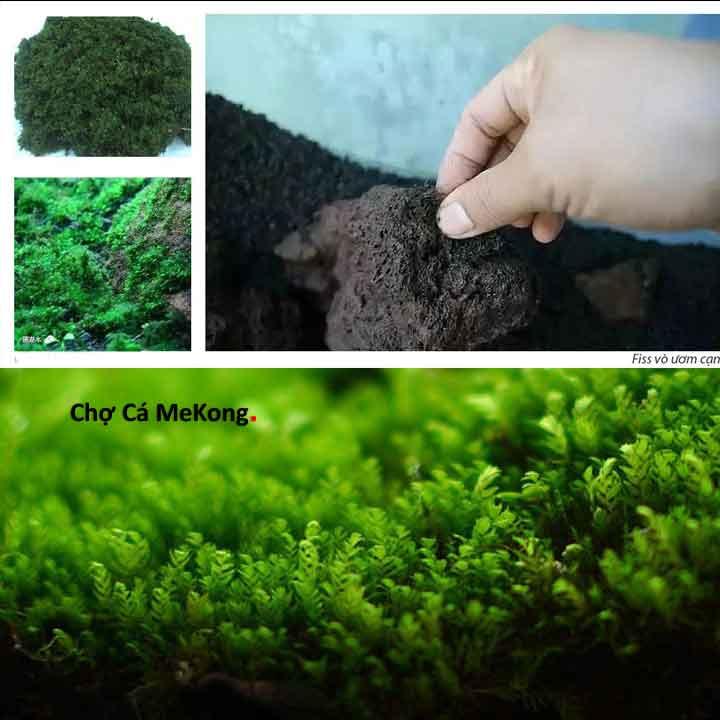 cách ươm rêu minifiss