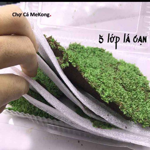 rêu minifiss lá cạn